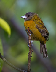 Scarlet-rumped tanager (female) (Eric Gofreed) Tags: costarica passerinistanager scarletrumpedtanager tanager