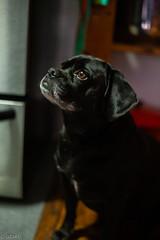 Puggle Lola helping mama (Uta_kv) Tags: sunrise photography canon5d canon50mmf18 canoneos parkdale canon5dclassic supermulticoatedtakumar55mmf18 lola blackdog puggle beagle pug hungrypuppy