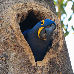 Happy Blue Monday! (AnyMotion) Tags: hyacinthmacaw hyazinthara anodorhynchushyacinthinus parrot papagei bird vogel portrait porträt nest treecave baumhöhle 2019 anymotion pousadapiuval pantanal matogrosso brazil brasilien southamerica südamerika travel reisen animal animals tiere nature natur wildlife 7d2 canoneos7dmarkii square 1600x1600 ngc npc américadosul