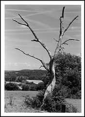 arbre foudroyé ? version argentique (cdut70) Tags: franchecomté arbres hautesaône quincey paysage blackwhite photographieargentique nikonf80 nikon50mmf18 pelliculenoiretblanc ilfordpan100 id11 filtrebw040 outside bw blackandwhite trees nikkor landscape tree film ilford 50mm