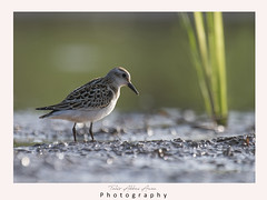 Little Stint in wetland (T@hir'S Photography) Tags: littlestint animal animalbodypart animalmigration animalwildlife animalwing animalsinthewild beach beak beauty bird blurredmotion calidrisminuta feather financialbill fulllength horizontal italy maleanimal multicolored nature nopeople oneanimal outdoorpursuit outdoors pakistan photography portrait river sandpiper sealife sideview silence springtime summer sunbeam sunset tranquility water wetland
