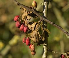 Dessicated (Tony Tooth) Tags: nikon d7100 sigma 70mm berries shriveled nature swainsley staffs staffordshire shibui wabisabi