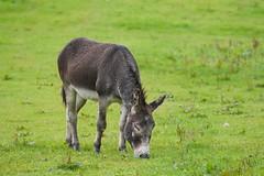 09 Sept 2019 Crinan(5) (AJ Yakstrangler) Tags: yakstrangler crinan donkey scotland knapdaleforest argyllandbute