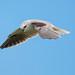 Black-shouldered Kite- Intent