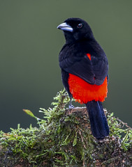 scarlet-rumped tanager (male) (Eric Gofreed) Tags: costarica passerinistanager ramphoceluspasserinii scarletrumpedtanager