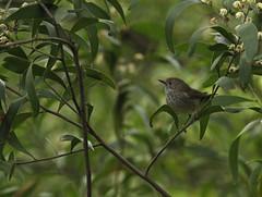 A fleeting stop... (rankenhohn59) Tags: bird animal australian native nature wildlife woodland