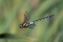Photo of Aeshna mixta male 1024 -190023