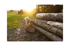 Good boy! (balu51) Tags: morgenspaziergang sonnenaufgang hund kuvasz sommer august 2019 copyrightbybalu51