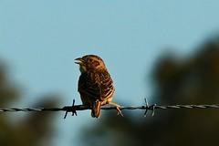 Singing Bushlark, Farmland near Laura, South Australia (Red Nomad OZ) Tags: outdoor nature natural australia southaustralia southernflindersranges southernflinders midnorth bird wildlife fence farmland singingbushlark