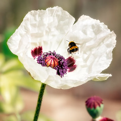 bubble bee (debraflynnphotography) Tags: 2018garden bee poppies