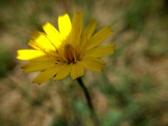Dandelion in the sunlight..... A weed to one person is a thing of beauty to another ! (gilberteplessers) Tags: