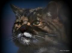 Scottish Wildcat (captive) (Alan Woodgate) Tags: wildcat scottish portrait