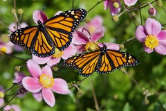 Another 2 for the road! (ineedathis, Everyday I get up, it's a great day!) Tags: monarch danausplexippus newborn butterfly females life insect japaneseanemone πεταλουδα wings λεπιδοπτερα lepidoptera love nature flower summer garden nikond750 bokeh