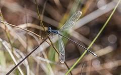 Dark Swamp Spreadwing (Odonata457) Tags: dark swamp spreadwing lestesvigilax patuxentresearchrefuge annearundelcounty maryland