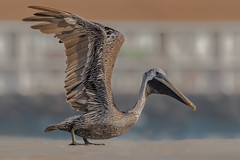 Finally a ground shot... (Kevin E Fox) Tags: brownpelican pelican stoneharbor stoneharborpoint newjersey nj bird birdwatching birding birds birdphotography birdinflight sigma150600sport sigma shorebird shorebirds nature nikond500 nikon