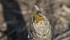 Fiery Skipper on Wood (Odonata457) Tags: fiery skipper hylephilaphyleus patuxentresearchrefuge annearundelcounty maryland