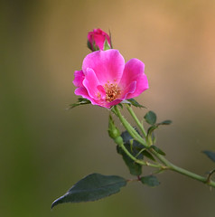 Branching out alone (gary_photog) Tags: pink rose flower bokeh coth5