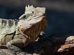 Handsome (Thunder1203) Tags: currumbinwildlifesanctuary sonyrx10m4 animals nativeanimals wildlife zooanimals goldcoast queensland australia dragon easterndragon lizard reptile