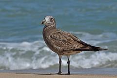 Pacific Gull (immature) (Larus pacificus) (philk_56) Tags: western australia dongara beach immature pacific gull bird larus pacificus