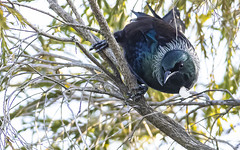 Tui (marc_odonoghue) Tags: bird tui nz newzealand nature native n