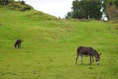 09 Sept 2019 Crinan(4) (AJ Yakstrangler) Tags: yakstrangler crinan donkey scotland knapdaleforest argyllandbute