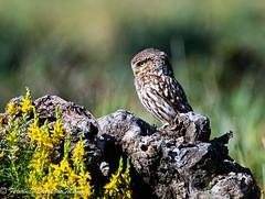 owl (barragan1941) Tags: birds aves owls mochuelos lechuzas animals raptors