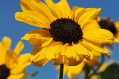 bloemenveld (wjrpics) Tags: bloemen geel bloemenveld lucht sky