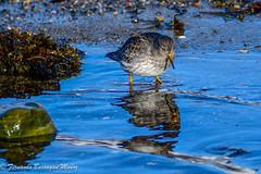 correlimos (barragan1941) Tags: birds aves avesmarinas mar sea reflejos