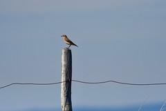 "Wheatear - Church norton (Ratsiola) Tags: birds nature wildlife perched perching ""birds perching"" passerine environment beauty ""natural world"
