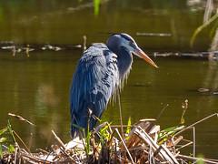 Great Blue Heron (Joey Hinton) Tags: olympus omd em1 40150mm f28 green cay wetlands florida mft m43 microfourthirds bird