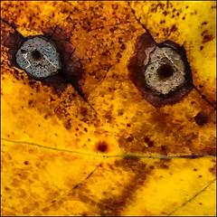 Eye See You (Timothy Valentine) Tags: 0919 pareidolia leaf camera2 liriodendrontulipifera 2019 macromondays eastbridgewater massachusetts unitedstatesofamerica