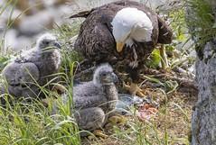 A feast of salmon (sfdonald) Tags: alaska katmai baldeagle eagle nest nestlings haliaeetusleucoecphalus pygargueateteblanche feast salmon