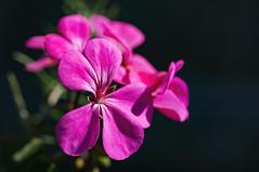 Geranium 2019-05-18 (5D_32A0002) (ajhaysom) Tags: geranium vegoutcommunitygardens stkilda flower australia canoneos5dmkiii canon100mmlmacro 100flowers2019 image75100
