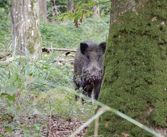 Sanglier!!!!! (rockwolf) Tags: boar sanglier wildboar susscrofa mammal forest forêtdemormal parcnaturelrégionaldel'avesnois nord france 2019 rockwolf