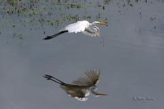 Great White Egret (Mike Slade.) Tags: greatwhiteegretardeaalba water bird reflection flight rspb hamwall somerset england ©mikeslade