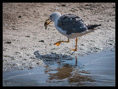 Catching the Crab (MikeJDavis) Tags: rpsb leightonmoss gull bird crab nature