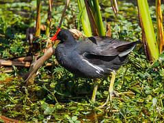 Common Gallinule (Joey Hinton) Tags: olympus omd em1 40150mm f28 green cay wetlands florida mft m43 microfourthirds bird