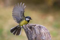 Oiseau A10 Rd1 IMG_8576 (thierrybarre) Tags: oiseau passereau mésange wings fly landing wildlife nature ornithologie