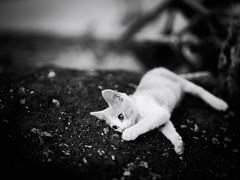 GFX1802 - Luke (Diego Rosato) Tags: luke gatto cat gattino kitten pet animale stray randagio giardino garden bianconero blackwhite fuji gfx50r fujinon gf110mm rawtherapee