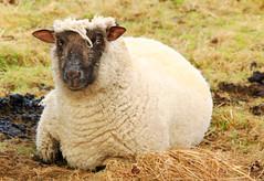 lanchester179 (PeterJacksonToD) Tags: sheep wool princebishops codurham durham
