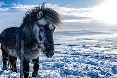 2018_02_Iceland_941-Edit.jpg (Matt Dolphin) Tags: iceland d750 nikon pony