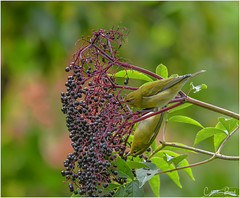 Tennessee Warblers (Summerside90) Tags: birds birdwatcher warblers tennesseewarblers september summer fallmigration backyard garden elderberries nature wildlife ontario canada