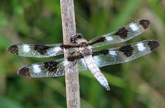Twelve-spotted skimmer - males are back! (Vicki's Nature) Tags: twelvespottedskimmer male big dragonfly 12spottedskimmer black white wings biello georgia vickisnature canon s5 2065