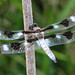 Twelve-spotted skimmer - males are back!
