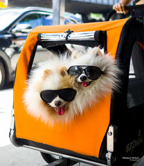 The New Yorkers - Dog's life (François Escriva) Tags: street streetphotography us usa nyc ny new york people candid olympus omd photo rue sun light colors sidewalk manhattan pet dog orange dogs fun funny sunglasses trolley pushchair