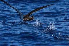 Sturmtaucher, shearwater_04 (Udo Berner) Tags: sturmtaucher shearwater birds vogel vögel nature wildlife outdoor