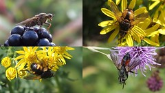 Flies at Cuttle Pool (Nick:Wood) Tags: dipthera scathophagastercoraria tachinafera eriothrixrufomaculata nowickiaferox cuttlepoolnaturereserve warwickshirewildlifetrust templebalsall wildlife fly
