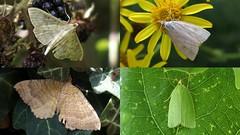 Moths at Cuttle Pool (Nick:Wood) Tags: moth pleuroptyaruralis udealutealis tortrixviridana camptogrammabilineata cuttlepoolnaturereserve warwickshirewildlifetrust templebalsall insect nature wildlife