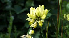 Greater Bird's-foot-trefoil (Nick:Wood) Tags: greaterbirdsfoottrefoil lotuspedunculatus cuttlepoolnaturereserve warwickshirewildlifetrust templebalsall nature wildflower yellow flower