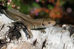 Tongue in cheek. (ChristianMoss) Tags: viviparous lizard zootoca vivipara reptile eppingforest common outside